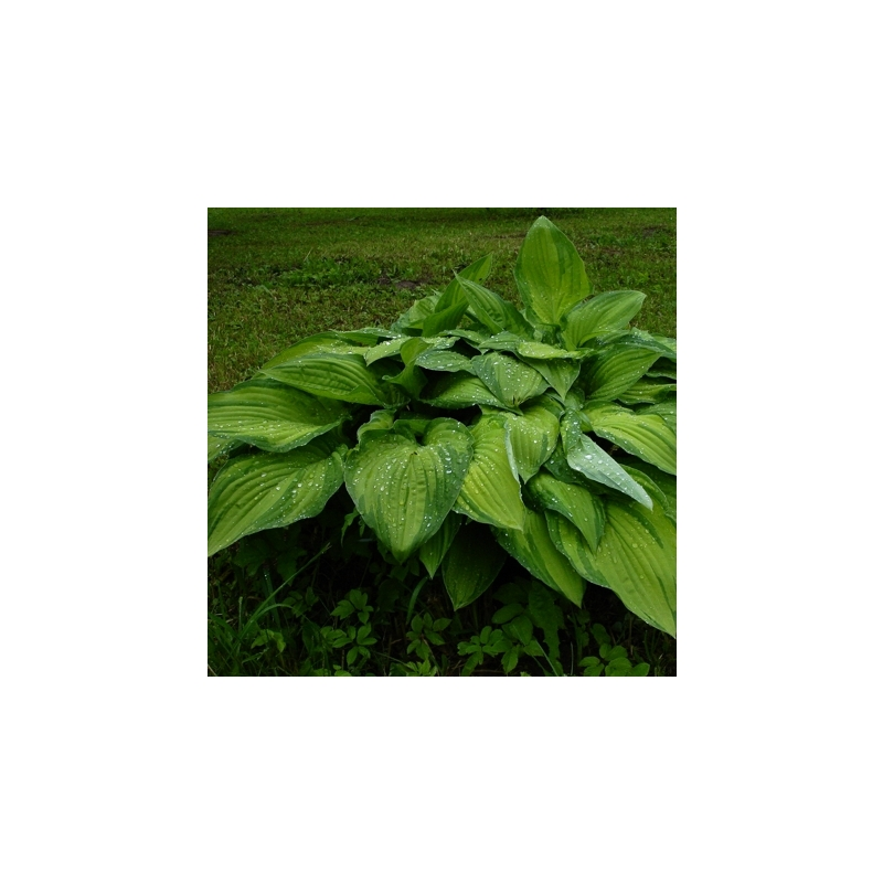Fortune'i hosta Albopicta