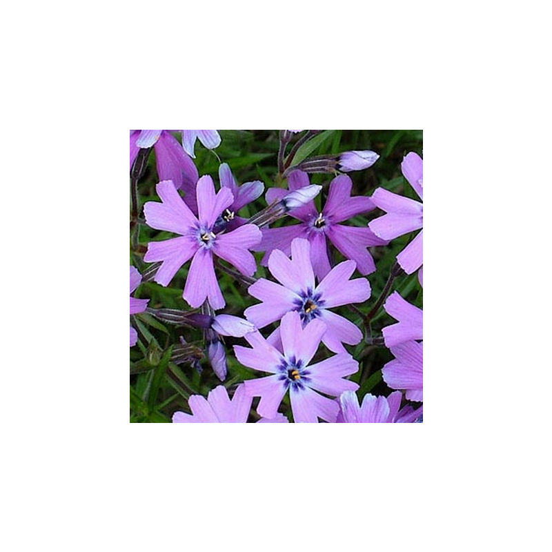 Padjand-leeklill 'Purple Beauty' Phlox subulata