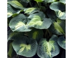 Hosta Dream Waver